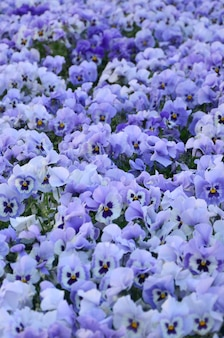Zamyka w górę błękitnych i fiołkowych pansies w ogródzie.
