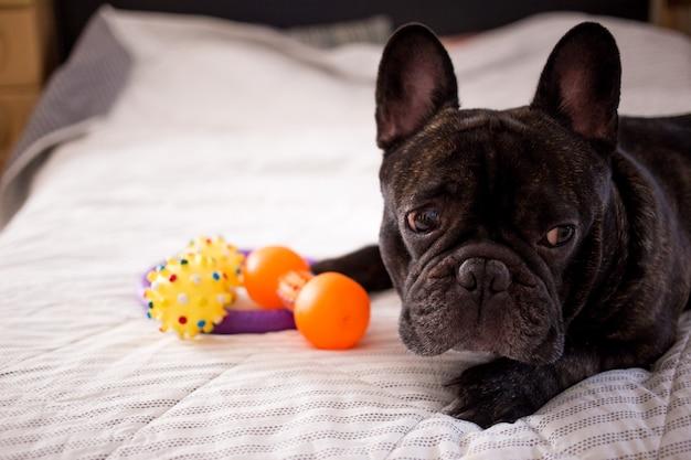 Zamyka w górę brindle francuskiego buldoga bawić się z jego zabawkami na łóżku