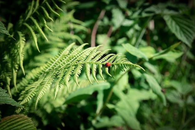 Zamyka w górę ciemnozielonej paproci w lesie. piękne paproci liście zielone liście. naturalne tło kwiatowy