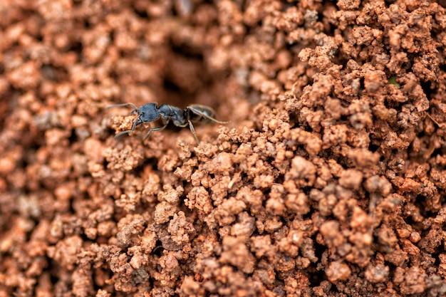 Zamyka w górę czarnego mrówki gniazdeczka w czerwonej ziemi