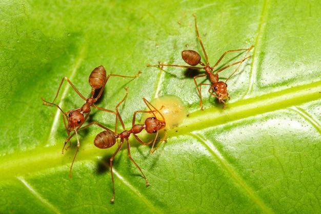 Zamyka w górę czerwonej mrówki na zielonym liściu w naturze przy thailand