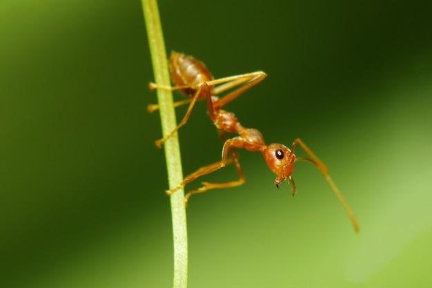 Zamyka w górę czerwonej mrówki ostrości głowy na kija liściu