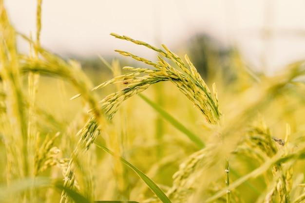 Zamyka w górę dojrzałych ryż w polu.