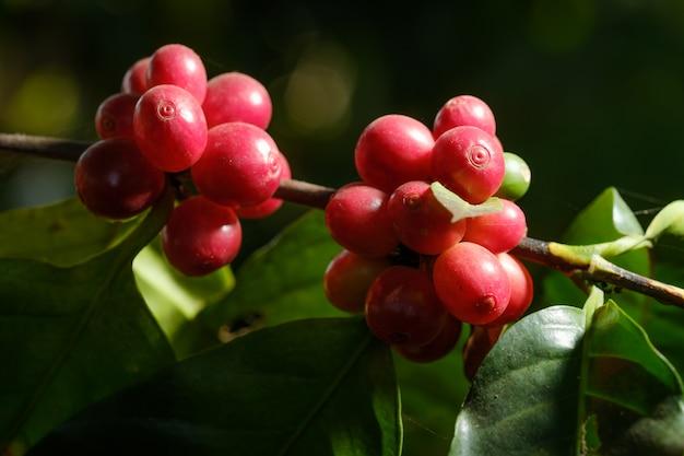 Zamyka w górę fasoli kawy w naturze