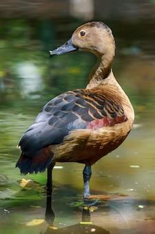 Zamyka w górę fulvous gwizdanie kaczki lub fulvous drzewnej kaczki pozyci w stawie, tajlandia