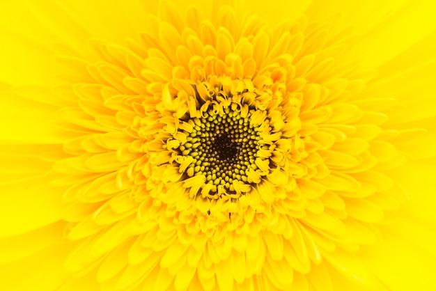Zamyka w górę gerbera kwiatu