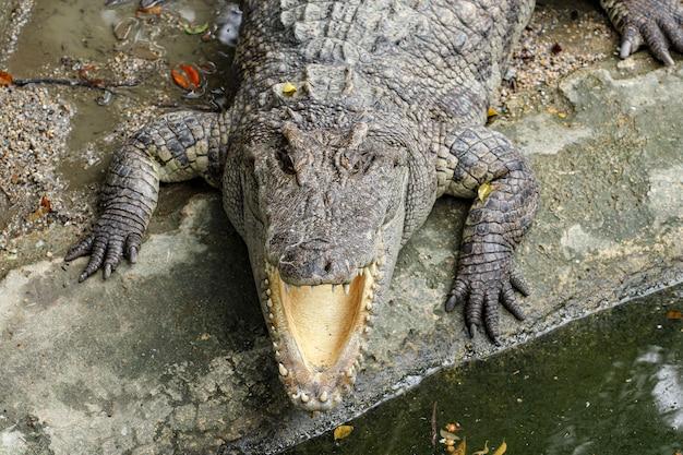 Zamyka w górę głowa krokodyla solankowego sen na kanale.