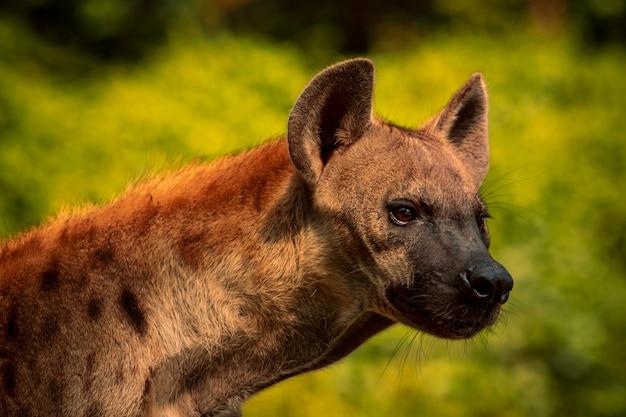 Zamyka w górę głowy punkt hiena z myśliwych oczu patrzeć