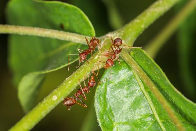 Zamyka w górę grupowej czerwonej mrówki na zielonym laef w naturze przy thailand