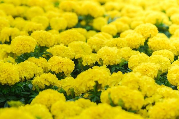 Zamyka w górę jaskrawych żółtych nagietków kwitną