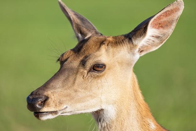 Zamyka w górę jeleniego portreta z zielenią