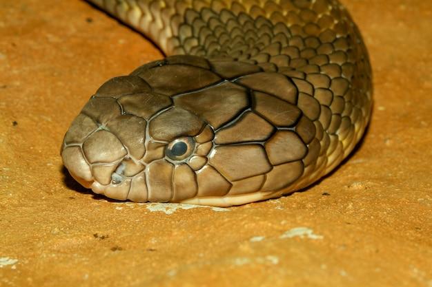 Zamyka w górę kierowniczej kobry królewiątka węża przy thailand