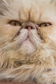 Zamyka w górę kota portreta figlarka