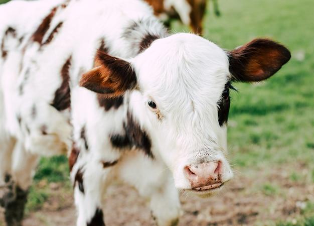 Zamyka w górę krowy w gospodarstwie rolnym
