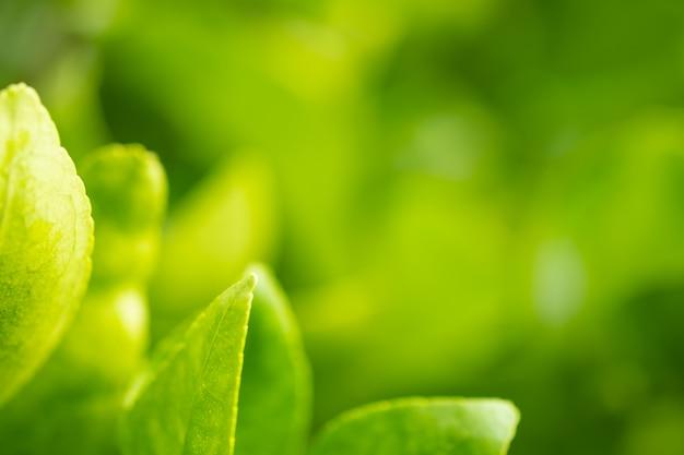 Zamyka w górę liścia zielonego koloru i zamazanego zieleni tła w naturze