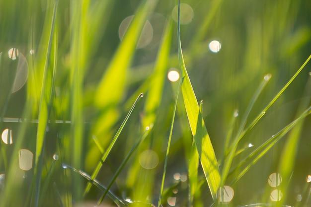 Zamyka w górę makro- abstrakcjonistycznego obrazka zaświecający słońce jaskrawymi świeżymi czystymi jasnozielonymi traw ostrzami r na zamazanym bokeh na pogodnej wiośnie lub letnim dniu. piękno koncepcji środowiska naturalnego.