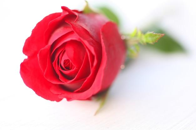 Zamyka w górę makro- czerwieni róża
