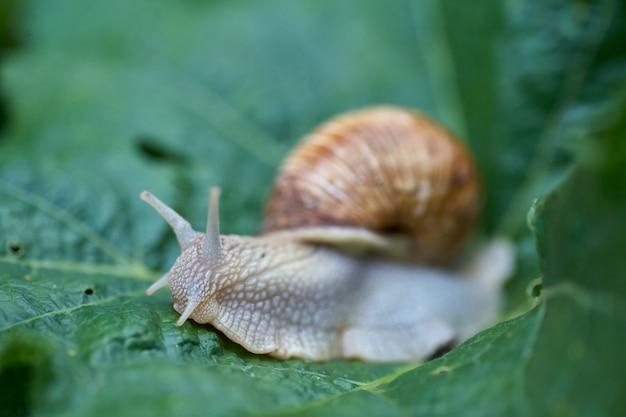Zamyka w górę małego ślimaczka na zielonym liściu w ogródzie