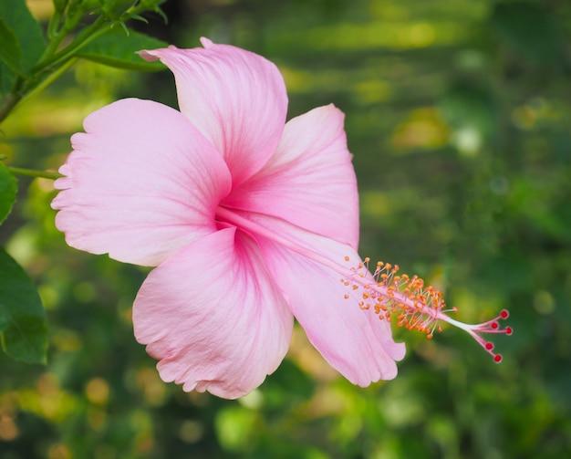 Zamyka w górę pięknego poślubnika kwiatu z zielonymi liśćmi