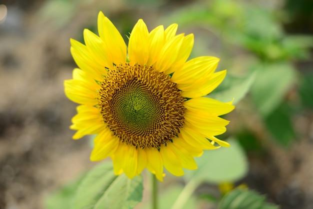 Zamyka w górę pięknego słońce kwiatu z małą pszczołą