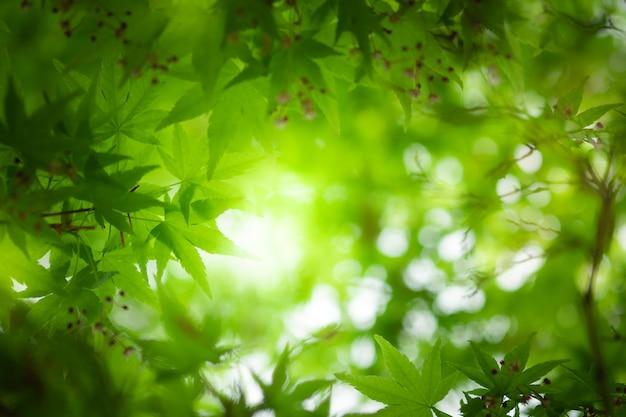 Zamyka w górę pięknego widoku natury małego klonu zieleni liście na zamazanym zieleni drzewa tle