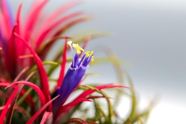 Zamyka w górę pięknej tillandsia rośliny.