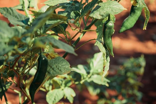 Zamyka w górę pieprzowej owoc i rośliny