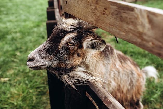 Zamyka w górę portret twarzy kózka z brodą i rogami na gospodarstwie rolnym w wiosce. stara koziołek z rogami. typowa scena w ukraińskiej wiosce, rolnictwo, hodowla zwierząt.