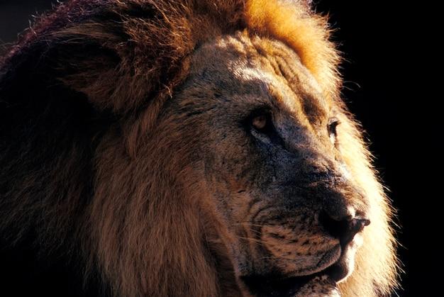 Zamyka w górę portreta lew