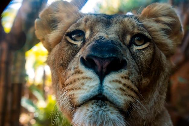 Zamyka w górę portreta lwica
