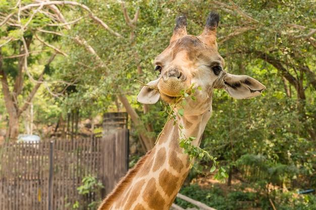 Zamyka w górę portreta śliczna żyrafa, giraffa