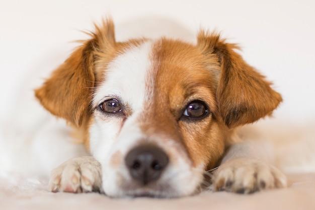 Zamyka w górę portreta śliczny młody mały pies nad zwierzętami domowymi indoors. koncepcja miłości do zwierząt.