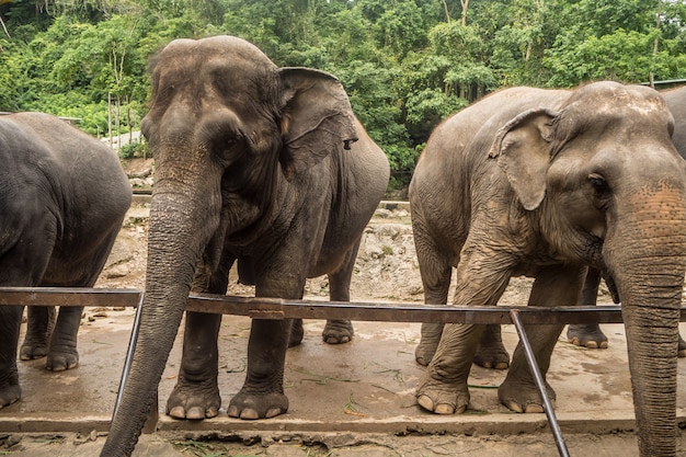 Zamyka w górę portreta słoń asia