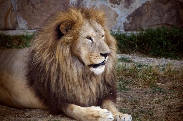 Zamyka w górę portreta stary puszysty lew