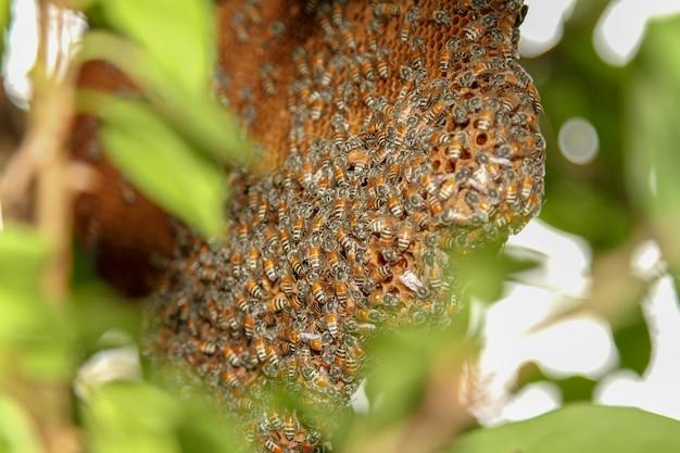 Zamyka w górę pszczoły na honeycomb w naturze przy thailand
