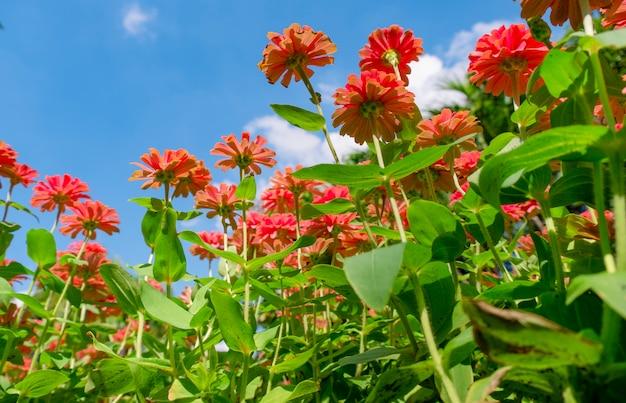 Zamyka w górę różowego bananowego kwiatu z niebieskie niebo chmurami i światłem słonecznym dla naturalnego tła.