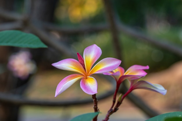 Zamyka w górę różowego, białego i żółtego plumeria kwitnie w ogródzie, tropikalny kwiat frangipani, kwiat plumeria.