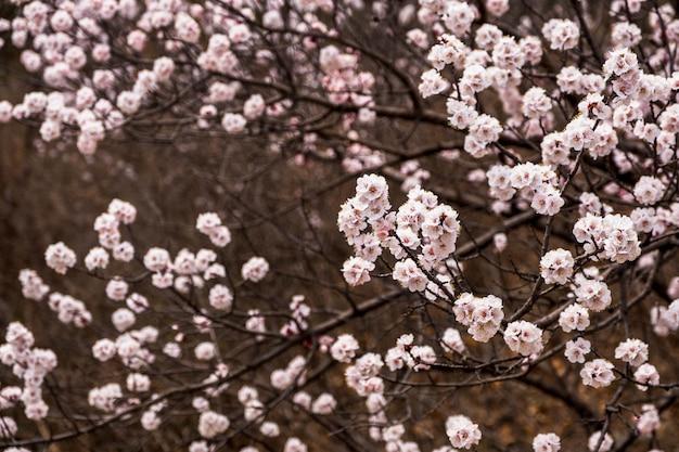 Zamyka w górę różowego sakura kwiatu okwitnięcia na drzewie w wiośnie sezonowej, naturalny tło ,.