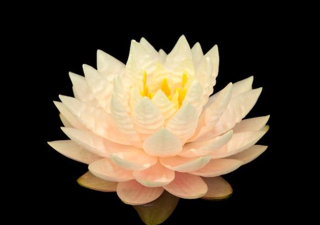 Zamyka w górę różowego wodnej lelui kwiatu odizolowywającego na czarnym tle.