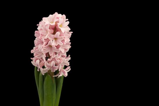 Zamyka w górę różowych hiacyntowych kwiatów odizolowywających na czerni