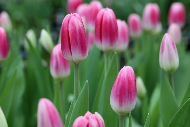 Zamyka W Górę Różowych Kolorów Tulipanów Na Polu Premium Zdjęcia