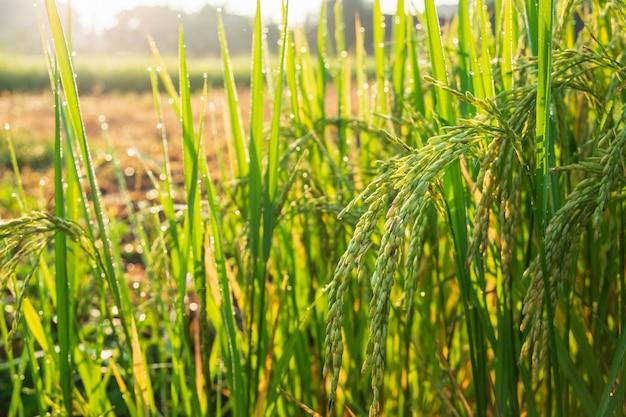 Zamyka w górę ryżowych rośliien plonu dojrzewania dorośnięcia czekania na żniwo