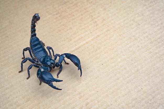 Zamyka w górę skorpionu na odosobnionym tle z kopii przestrzenią
