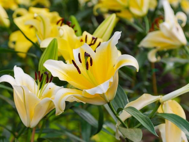 Zamyka w górę strzału lelui świeżego i naturalnego kwitnącego kwiatu, wybiórki ostrości płytka głębia pole