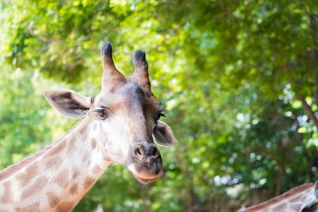 Zamyka w górę strzału żyrafy głowa w naturze