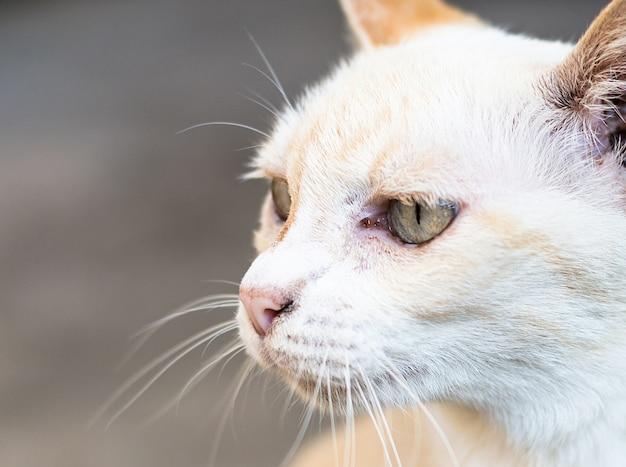 Zamyka w górę twarzy tajlandzki kot.