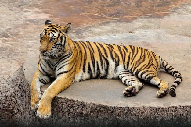Zamyka w górę tygrysa na cementowej podłoga w thailand