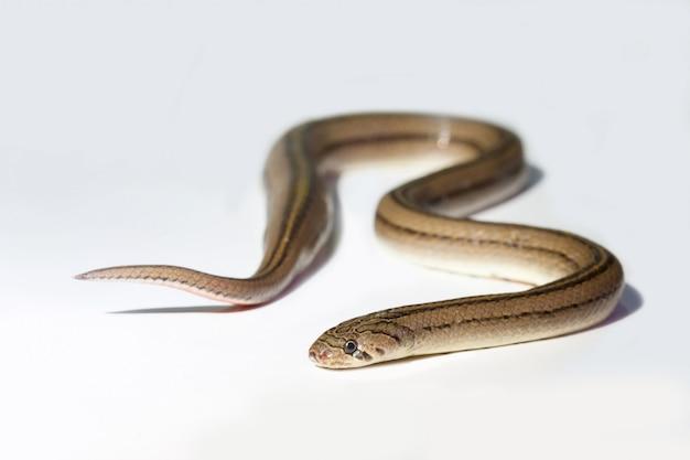 Zamyka w górę węża na białym tle odizolowywającym
