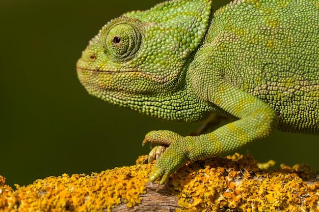 Zamyka w górę widoku śliczny zielony kameleon na dzikim.