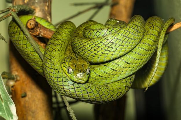 Zamyka w górę zielonego kota oka węża na drzewie w thailand